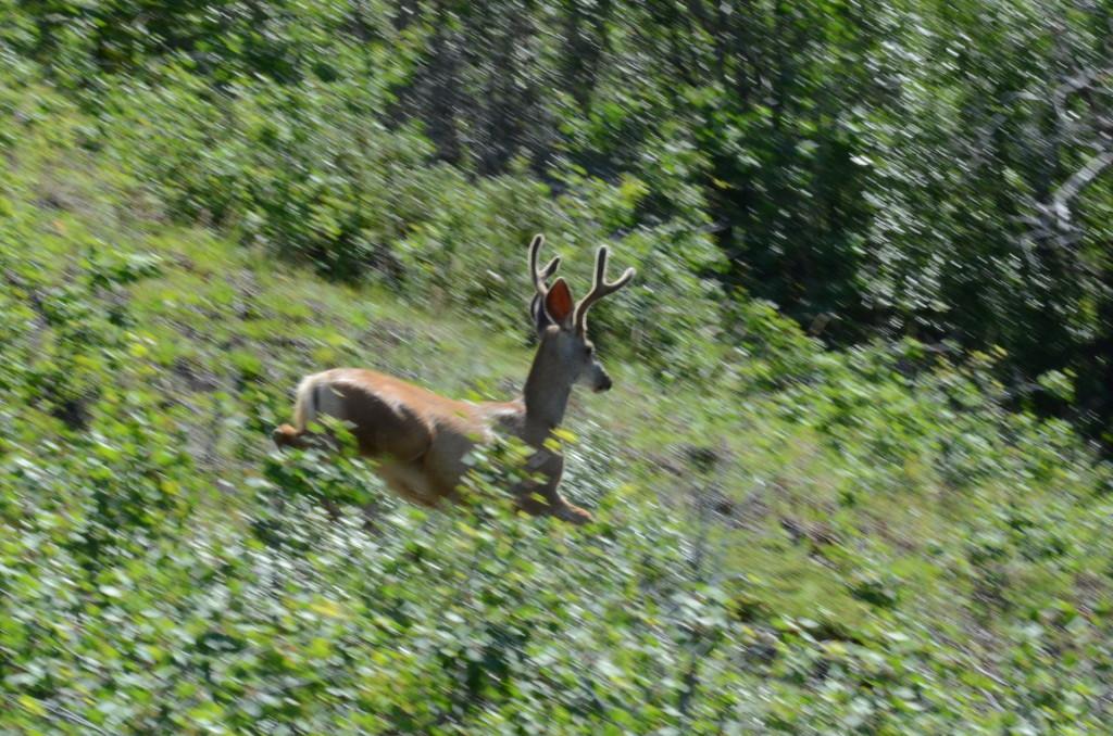 Yukon får stadig mer hjort. Dette er en Mule Deer-hjort