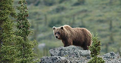 Grizzly i terrenget like ved innsjøen vi bodde