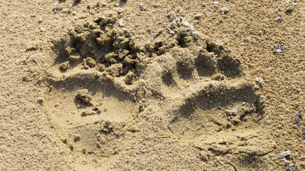 Grizzlyspor i sanden på bredden