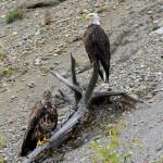 Bald Eagle - en hvithodeørn inne på bredden