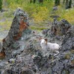 Dall Sheep - villsau langs elven