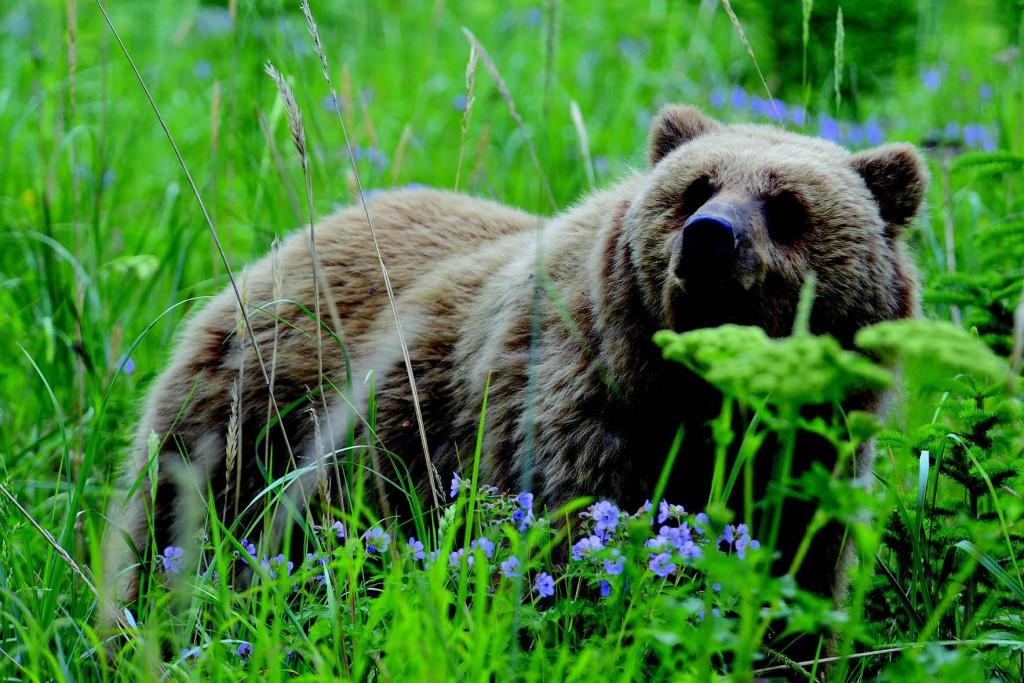 Bjørnefeber